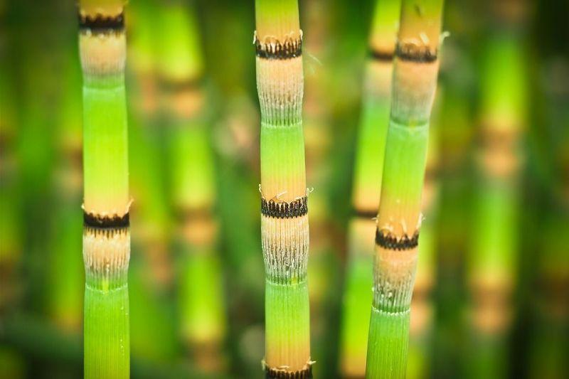 Jenis Jenis Bambu Hias Lengkap Dengan Wallpaper Gambar Bambu