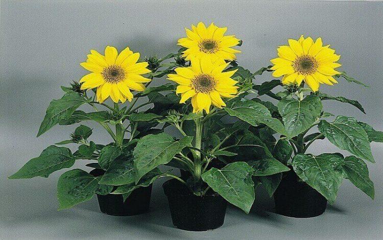 Jenis bunga matahari Pacino Gold