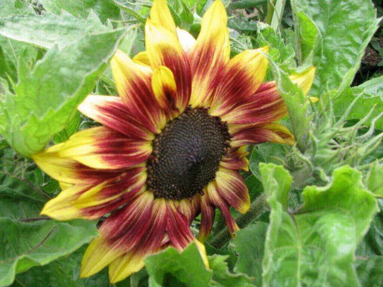Jenis bunga matahari Music Box