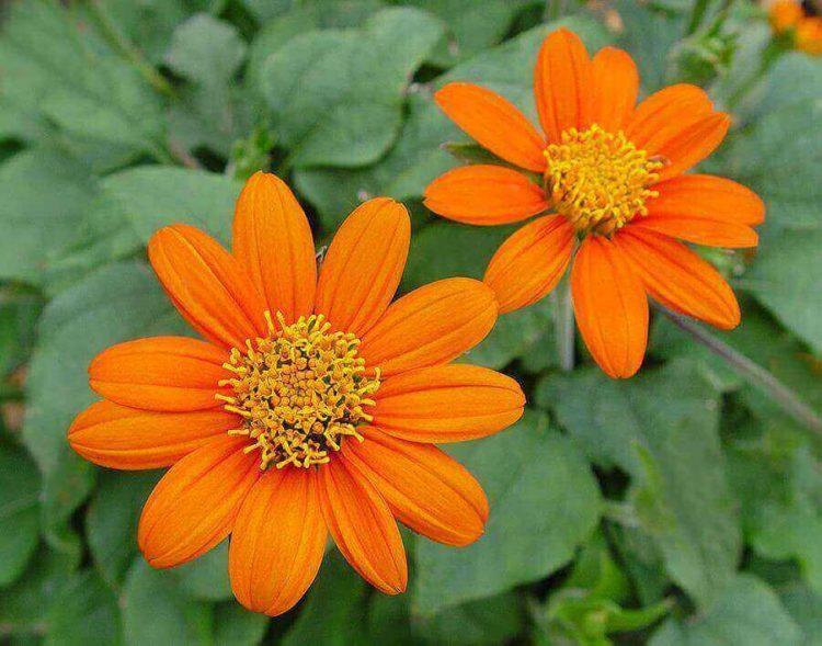 Jenis bunga matahari Fiesta Del Sol