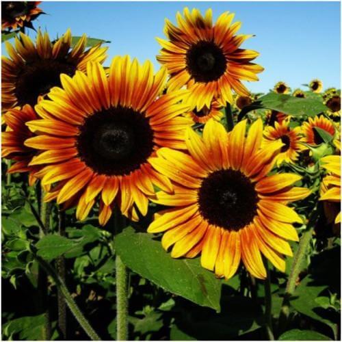 jenis bunga matahari