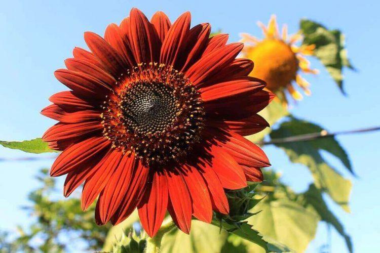 Jenis bunga matahari Velvet Queen