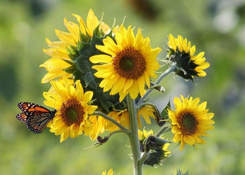 Bunga Matahari Macam Macam Cara Budidaya Manfaat Biji Dan Minyak Bagi Kesehatan