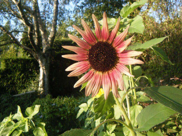 Jenis bunga matahari Indian Blanket