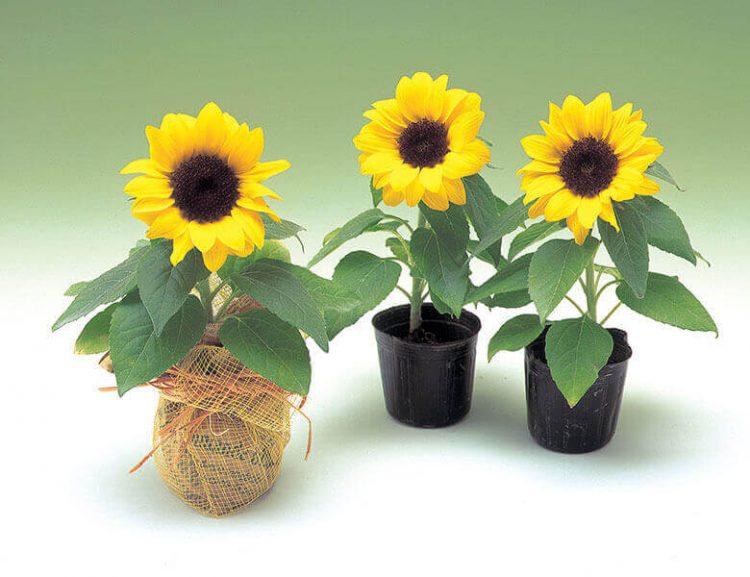 Jenis bunga matahari Sunny Smile