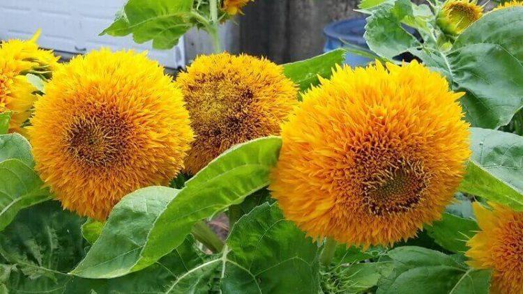 Jenis bunga matahari Teddy Bear