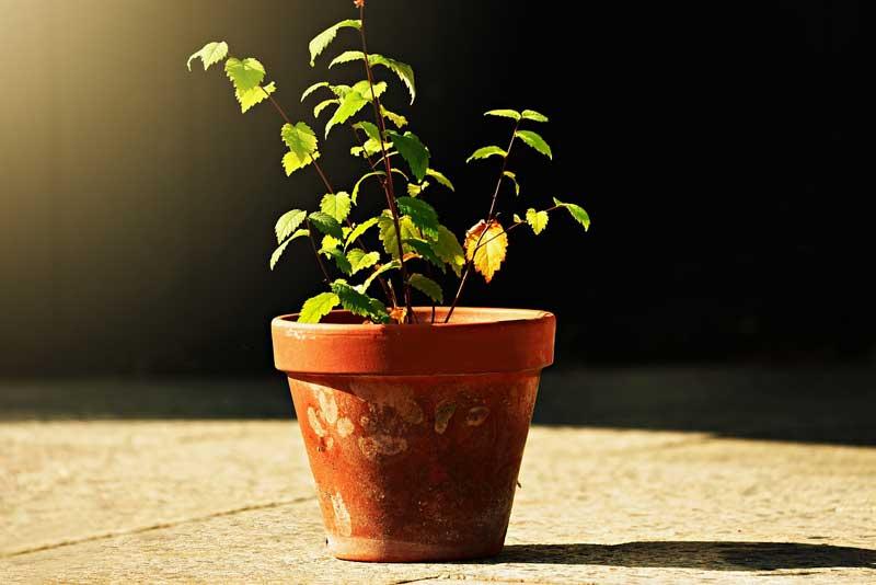tanaman mahal