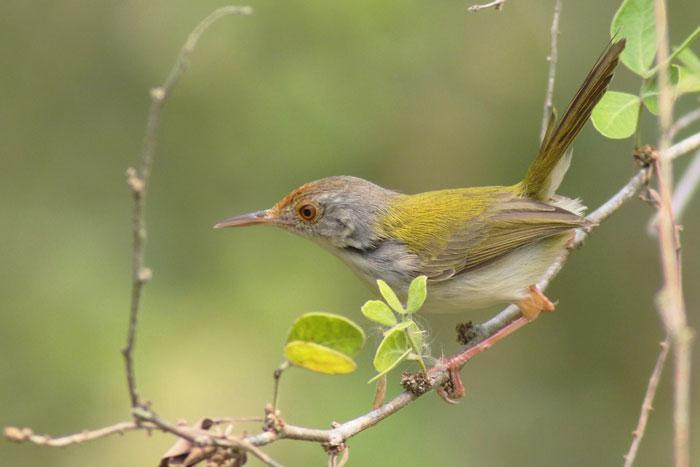 Jenis Burung Prenjak Beserta Gambarnya Update