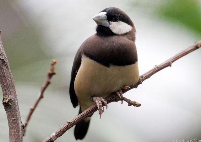Burung gelatik timor