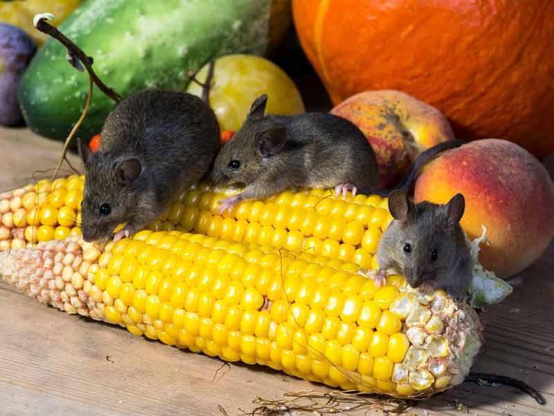 mengatasi tikus bandel