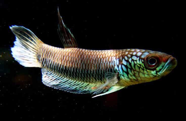 Ikan beta bellica