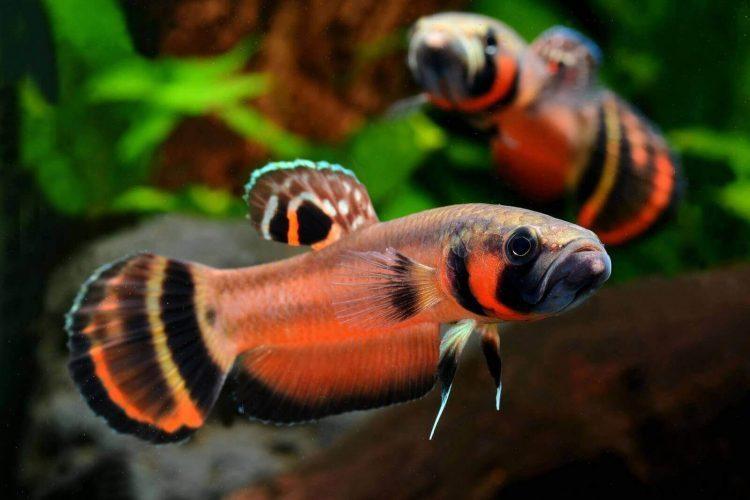 Ikan cupang - Betta Macrostoma