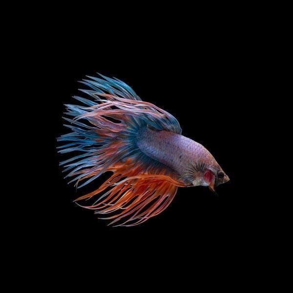 Ikan cupang hias Crowntail