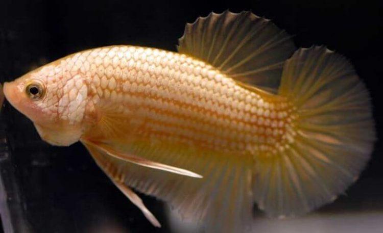 jenis ikan cupang hias HMPK
