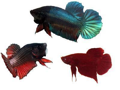 jenis ikan cupang plakat
