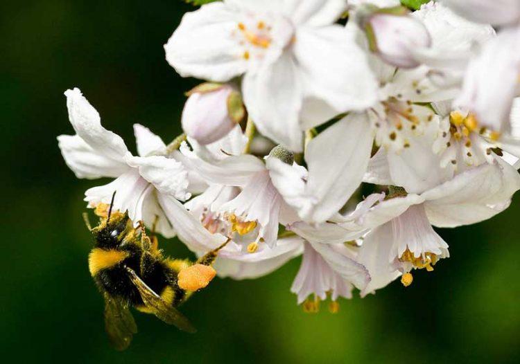Bunga Deutzia