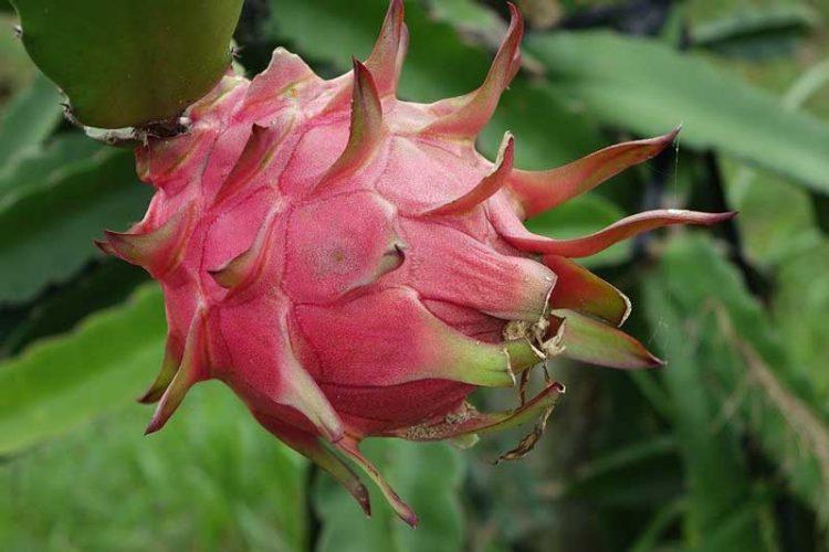 Gambar buah naga