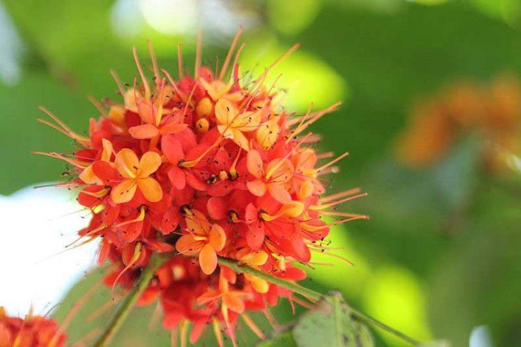 bunga asoka (tanaman perdu)