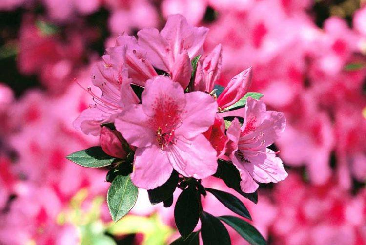 Bunga azalea