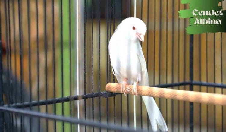 Gambar burung cendet albino