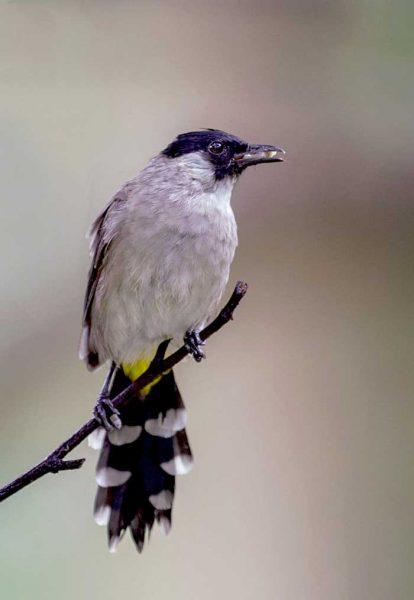 Gambar burung kutilang