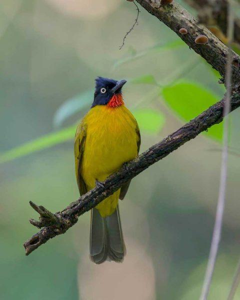 Gambar Burung Kutilang Emas