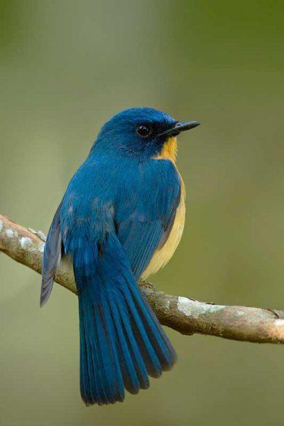 gambar burung sikatan