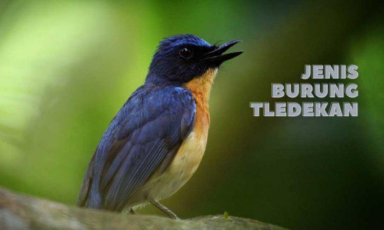 gambar burung tledekan kembang
