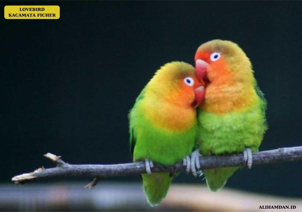 jenis lovebird ficheri