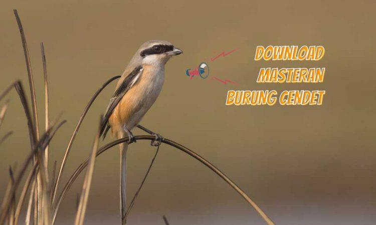 masteran burung cendet