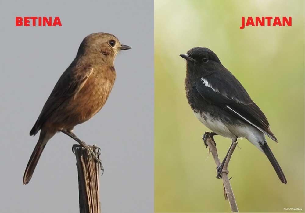Perbedaan Kelamin Burung Decu
