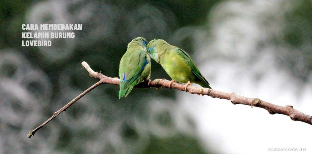 Cara membedakan kelamin jantan dan betina lovebird