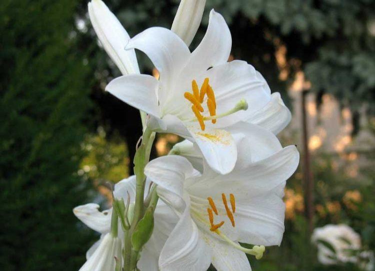 Gambar Bunga Lily Liani