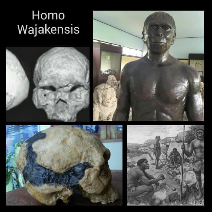 Jenis manusia purba Homo Wajakensis