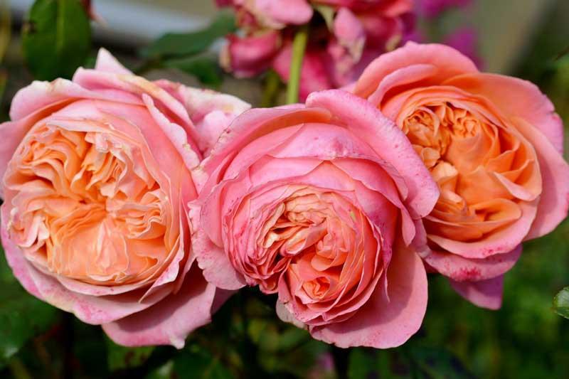 Bunga mawar english roses