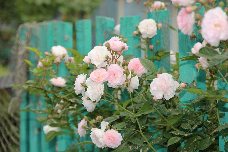 Bunga mawar rambat (climbing roses)