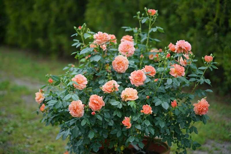 Bunga mawar shrub rose