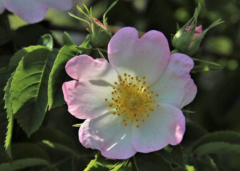Gambar bunga mawar wild roses