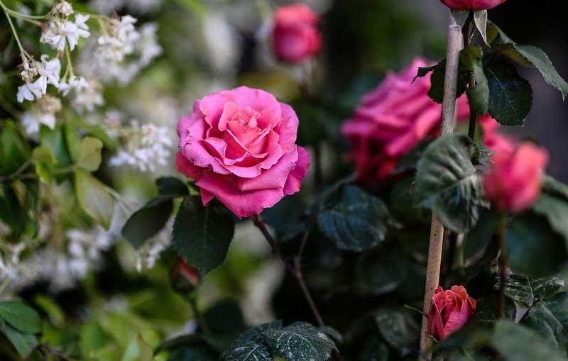 Bunga mawar modern gorden roses