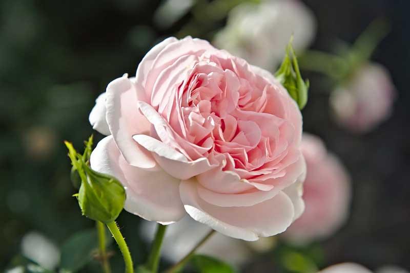 Gambar bunga mawar old golden roses