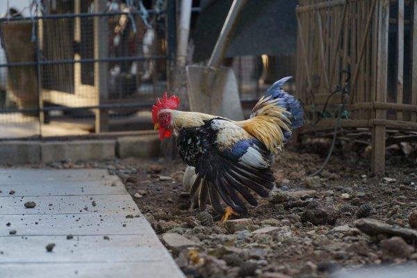 Juaragan ayam kate Indonesia