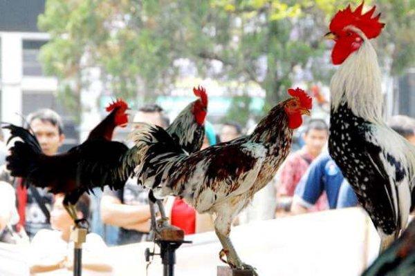 kontes-ayam-ketawa